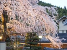 糸桜の開花